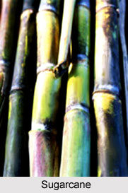 Sugarcane, Indian Food Crop