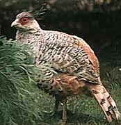 Himalayan subtropical pine forests - Bird Fauna - Cheer Pheasant