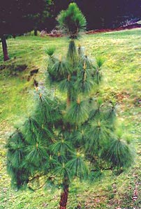 Chir Pine