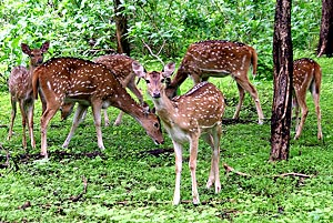 Cheetal deer