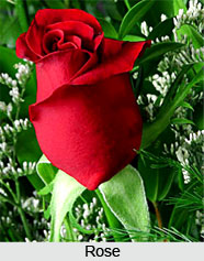 Roses, Indian Flower