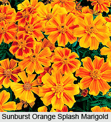 Marigolds, Indian Flower