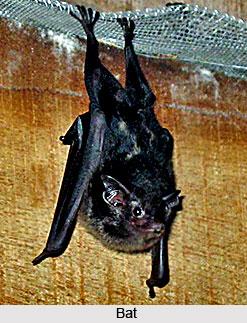 Bats, Indian Flying Mammal