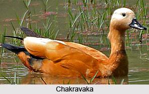 Chakravaka, Bird