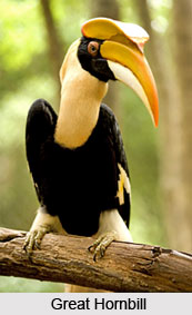 Great Hornbill, Bird