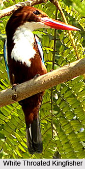 White throated Kingfisher , Indian Bird