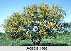 Acacia Tree in India