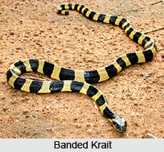 Indian Kraits