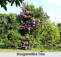 Bougainvillea Tree , Indian Tree