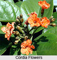 Scarlet Cordia Tree , Indian Tree