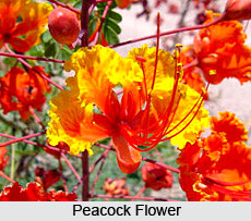 Peacock Flower Tree