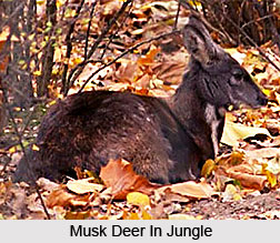 Musk Deer, Indian Animal