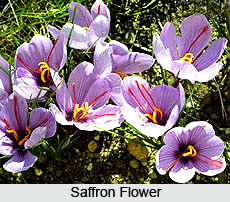 Saffron Flower in India