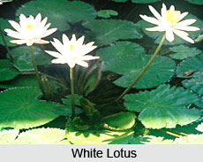 Lotus , Indian Flower
