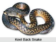 Keel Back Snake