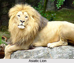 Asiatic Lions, Indian Animal