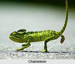 Chameleon, Indian Reptile