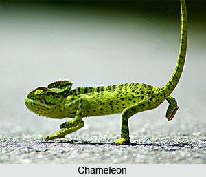Chameleon, Indian Reptile