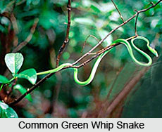 Common Green Whip Snake