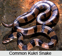 Common Kukri  Snake