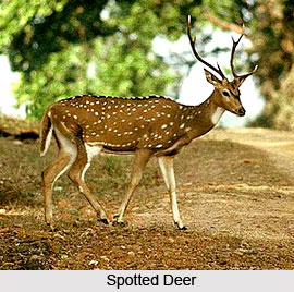 Deer , Indian Animal