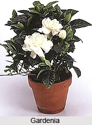 Gardenia , Indian Shrub