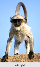 Langur, Indian Animal
