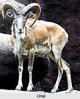 Urial, Indian Animal