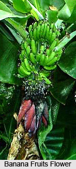 Banana Tree, Indian Tree