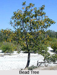 Bead Tree , Indian Tree