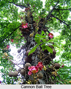 Cannon Ball Tree , Indian Tree