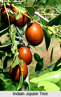 Indian Jujube Tree , Indian Trees
