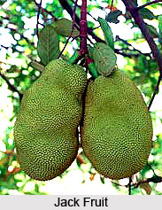Jack Fruit Tree, Indian Trees