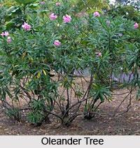 Oleander Tree , Indian Trees