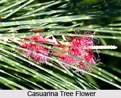 Casuarina Tree in India