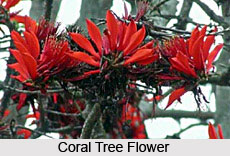 Coral Tree, Indian Tree