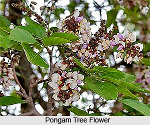Pongam Tree, Indian Tree