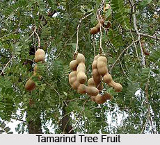 Tamarind Tree, Indian Plant