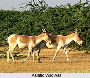 Asiatic Wild Ass, Indian Wild Animal