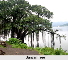 Banyan Tree, Indian Tree