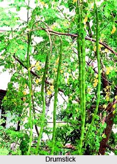 Moringa leaves for good health drumstick go natural
