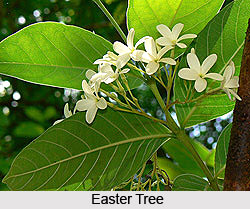 Easter Tree , Indian Trees