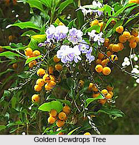 Golden Dewdrops Tree , Indian Trees