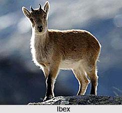 Ibex, Wild Goat, Indian Animal