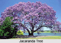 Jacaranda Tree, Indian Trees