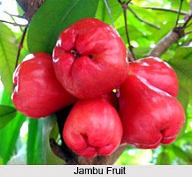 Jambu, Rose Apple Tree