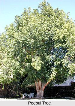 Peepul Tree, Indian Tree