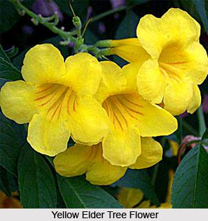 Yellow Elder Tree