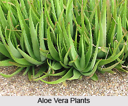Aloe Barbadensis Mill or Indian Aloe, Indian Medicinal Plants