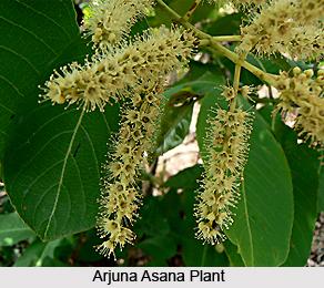 Arjuna Asana, Indian Medicinal Plant